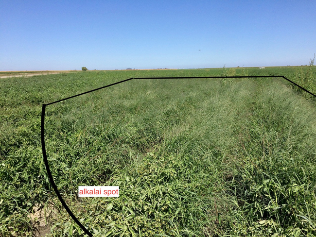 Figure 1. Weeds proliferated at the alkali spot in this field.