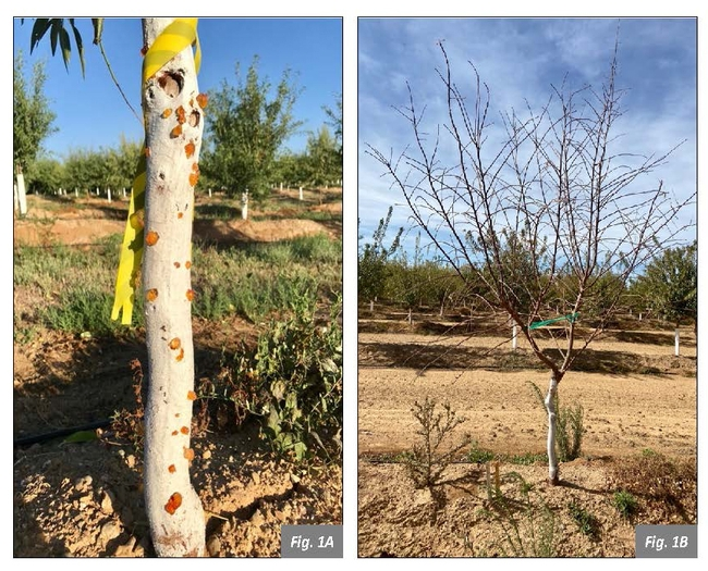 Figure. 1 Herbicide damage in 2nd leaf almonds. Glufosinate + Glyphosate (1.5 + 2.75lbs/ac). Image on the left is trunk gummosis observed 5 weeks after treatment. Image on the right shows complete defoliation of the same tree 12 weeks after treatment.