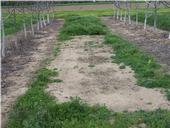 6.5 fl oz Alion 12 MAT in UCD walnut orchard BHanson040711