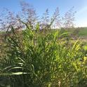 Johnsongrass, Sorghum halepense