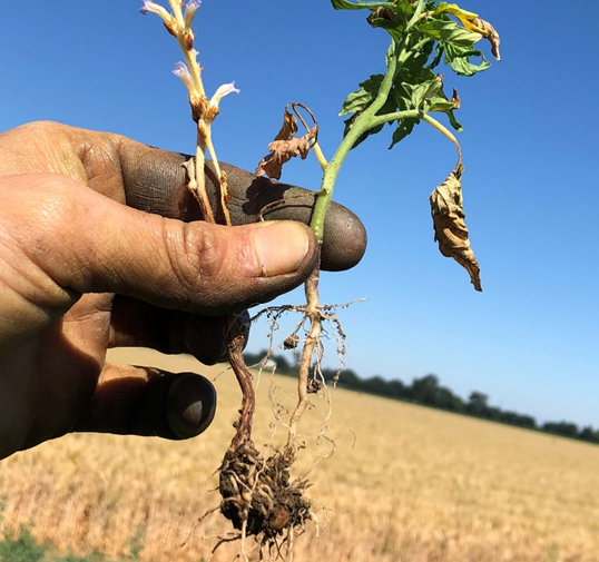 Figure 5: A branched broomrape plant attached to a volunteer tomato root.