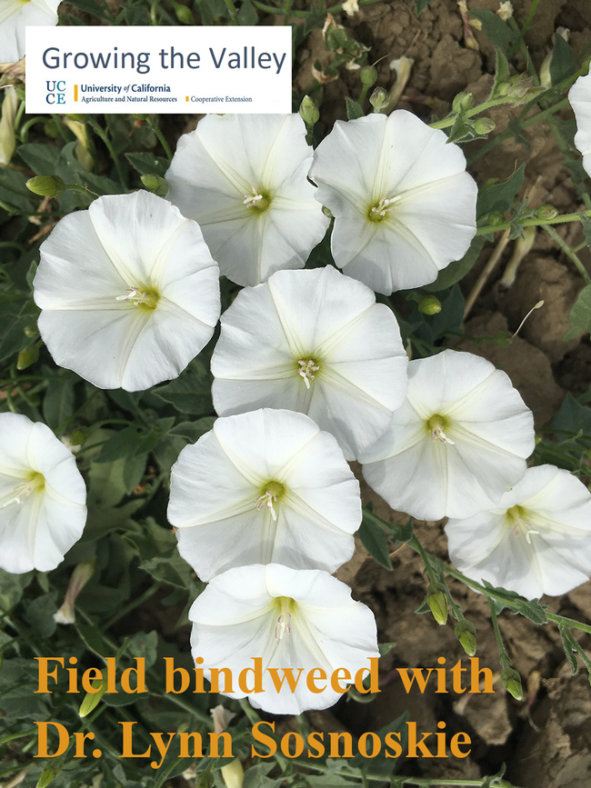 Field bindweed with flowers