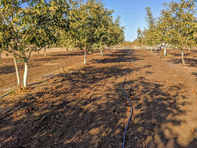 Photo 2. Microsprinklers down the center of the orchard alley for improved starter irrigation coverage after planting the boosted cover crop and forage crop treatments (November 2019).