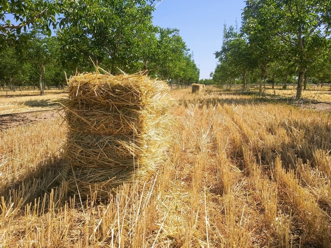 Photo 3. Rye cover crop bales in the walnut orchard after cover crop termination, which occurred in late April 2020.