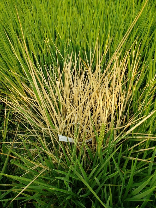SUPPRESS® herbicide applied in test plots on weedy rice (2020).