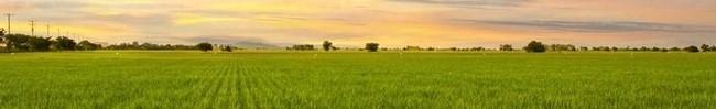 CA rice field