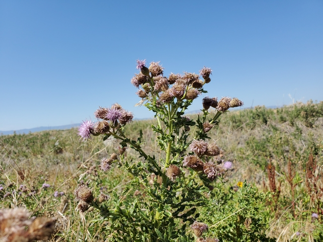 Photo 1. Canada thistle, end of flowering