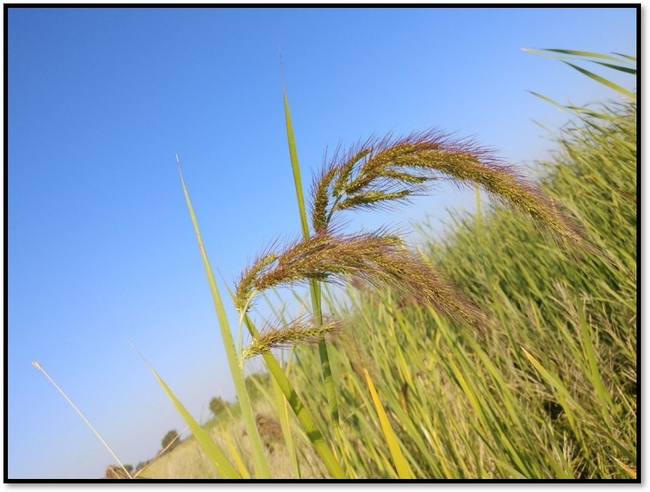 New/Unknown watergrass biotype in the field.