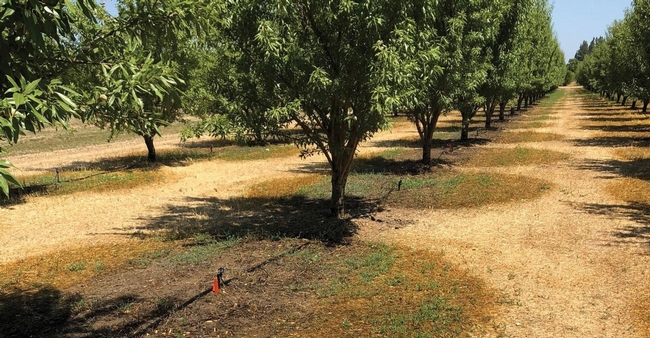 "This ""wetted area"" photo illustrates the need to consider next season's weed management program goals and options. Depending on weed pressure and previous management tactics used in the orchard, fall- and winter-germinating weeds can start to show up after nut harvest with post-harvest irrigation (as in this photo) or with early fall rains. (Brad Hanson/UC Davis)"