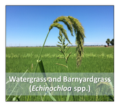Figure 1. Predominant weeds in the trial were watergrass and barnyardgrass.