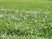 water hyacinth in the Delta