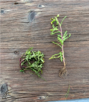 Figure 2. Common groundsel moments after treatment with EWC (left) and non-treated (right).