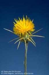 Yellow starthistle UCIPM