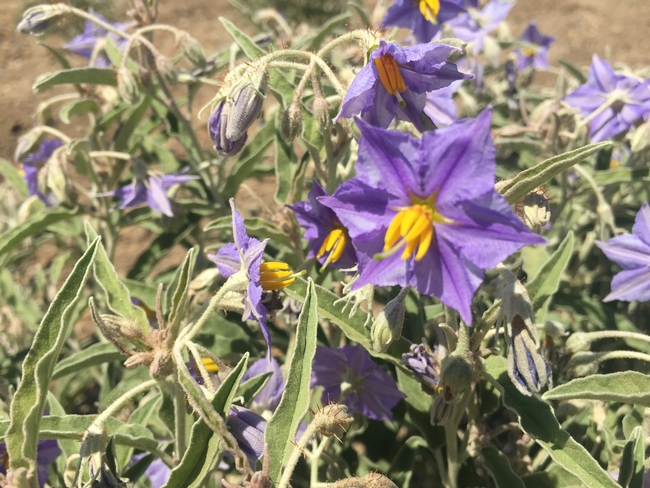 Silverleaf nightshade flowers