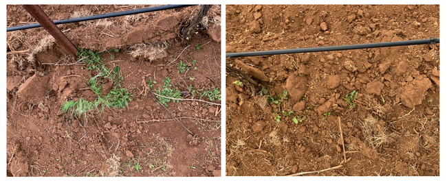 Figure 2. Example of soil after treatment with hoeing blade (left) and hoeing blade with rotary tiller (right). The hoeing blade with rotary tiller treatment was more effective than the hoeing blade alone. The tiller effectively broke up the soil and reduced weed root-to-soil contact.