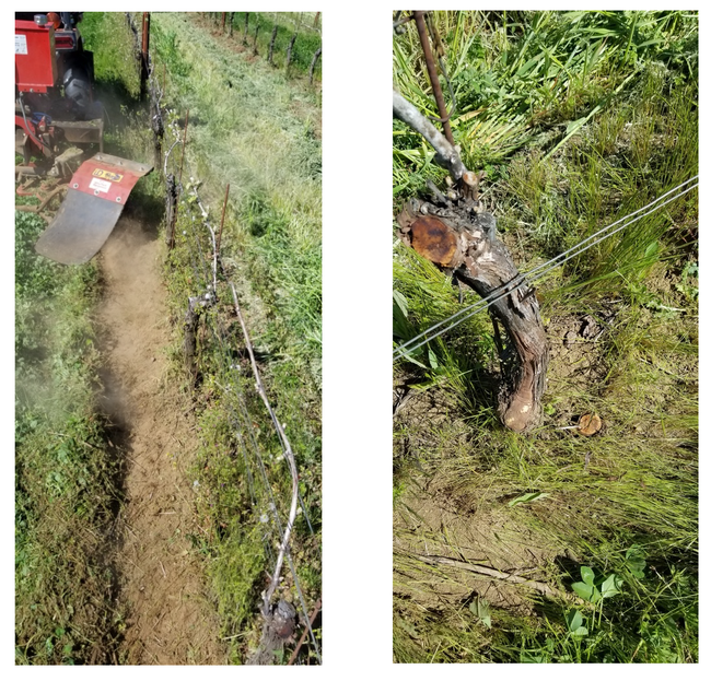 Figure 4. Brush weeder in operation in a vineyard in Yamhill, OR 2019 (left). The brush was spinning at 1,500 rpm, cut plants at the soil level, and uprooted smaller seedlings. The abrasive action can remove bark (right), generate dust, and entangle with wire installed too closely to to the ground.