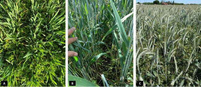 Figure 2. Common chickweed infestation in a triticale field located at Tulare county where ALS-inhibiting herbicides resistance is suspected. Each picture corresponds to a different triticale growth stage throughout the season: A) late tiller/jointing, B) heading and C) flowering.