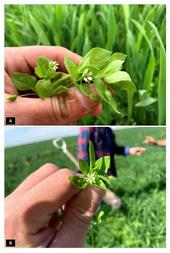 Figure 1. Mature common chickweed flower and leaves close-up.