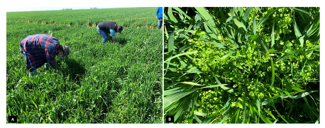 Figure 8. A) Research site in a triticale field located at Tulare County; B) highlight of the heavy common chickweed pressure prior to experimental treatments application.