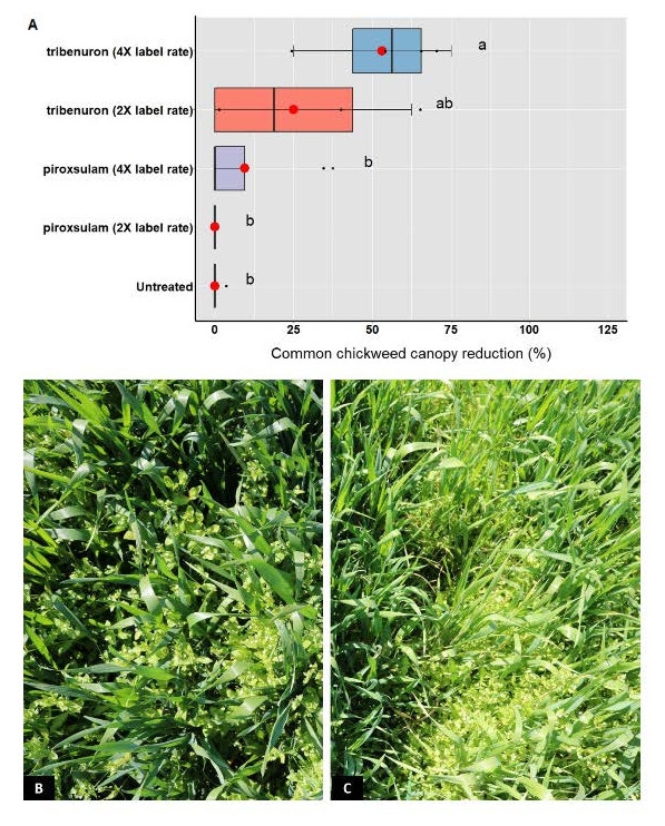 Figure 9. A) Chickweed visual % of canopy reduction in triticale 30 DAT. Means followed by the same letter are not significantly different according to Fisher's protected LSD test at P ≤ 0.05; B) pyroxsulam at 0.1 lbs ai acre-1 (2 X label treatment) 30 DAT; and C) tribenuron at 0.031 lbs ai acre-1 (2 X label treatment) 30 DAT.