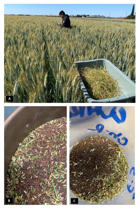 Figure 10. Collecting chickweed seed from a site where ALS inhibitor herbicide resistance was suspected.