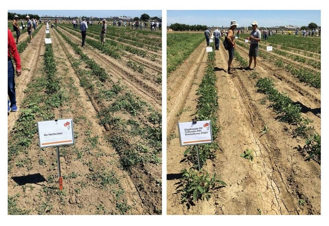 Figure 2. Bindweed control plots at UC Davis. Untreated control on the left, glyphosate, trifluralin, and rimsulfuron on the right.