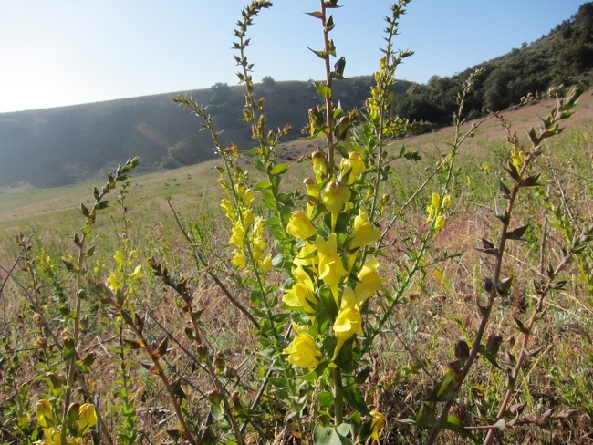 Figure 1. Dalmatian toadflax, Linaria dalmatica, in flower. Photo by Baldo Villegas, CA Dept. of Food and Agriculture