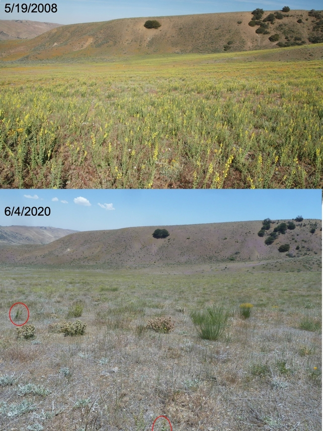 Figure 3. Before-after photos of the Dalmatian toadflax infestation at the Hungry Valley State Vehicular Recreation Area near Gorman, CA. Red circle indicates a live toadflax plant which is not flowering. Top photo dated 5/19/2008 by Baldo Villegas, CA Dept. of Food and Agriculture; bottom photo dated 6/4/2020 by Lincoln Smith, USDA Agricultural Research Service.