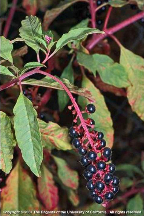 Purple Alert Common Pokeweed Uc Weed Science Anr Blogs