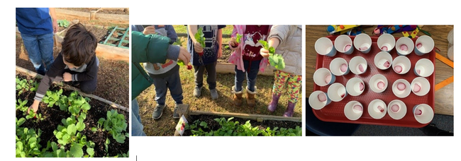 """Kindergarteners planted, harvested, and tasted radishes. """"The students were super excited to harvest what they grew. Students also were able to taste and take a radish home to show their parents.""""- Marina Aguilera, UCCE Nutrition Educator, Tulare."""