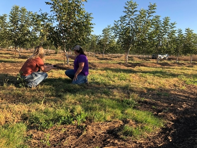Climate Smart Agriculture Educator, Dana Yount, out with Glenn County grower as they spread compost in their orchard.