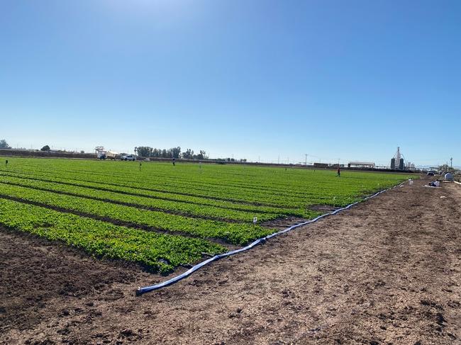 Organic spinach trial at UC DREC.