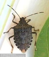 White stripes on the bug's antennae are a dead giveaway the insect is brown marmorated stink bug.