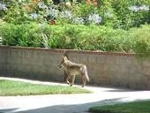 Coyote in suburban neighborhood. [T. Boswell]