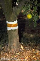 Sticky barrier on a tree