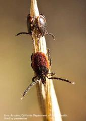 Adult males (top) and adult female (bottom) of the western blacklegged tick. [E. Acquino]