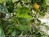 Asymmetrical yellow mottling of citrus leaves and greening of fruit, symptoms of huanglongbing. (E. Grafton-Cardwell)