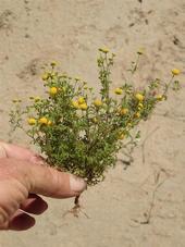 Stinknet plant. (Credit: Ron Vanderhoff)