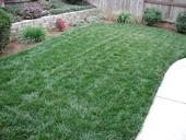 Figure 1. A healthy backyard lawn. (Credit: C Reynolds)