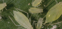 Aphids, such as the potato aphid pictured here, are well controlled with all types of horticultural oils. for Pests in the Urban Landscape Blog