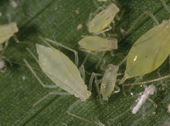 Aphids, such as the potato aphid pictured here, are well controlled with all types of horticultural oils.