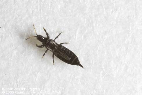 Adult myoporum thrips, Lambothrips myopori. (L.L. Strand, UC IPM)