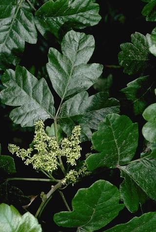 Figure 1. Poison-oak foliage and flowers. Photo by J.K. Clark