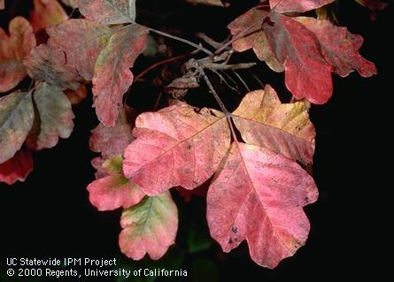 Fig. 2. Poison-oak foliage turns red in fall before dropping. Photo by J.K. Clark