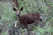 Figure 1. Mule deer