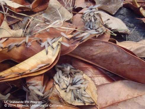 Swarming subterranean termites. [Photo by A.M. Sutherland]