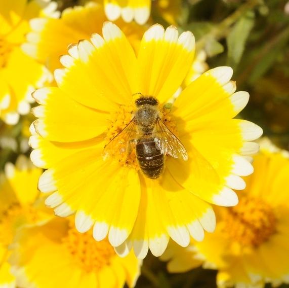 Figure 1. Honey bee on tidytips. [Photo by K.K. Garvey]