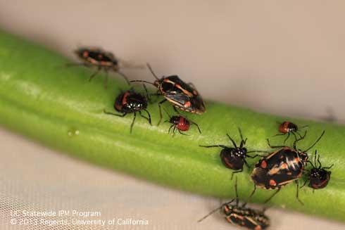 Bagrada bug adults and nymphs. Photo by Surendra K. Dara.