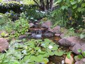 Figure 1. A well-managed water garden, such as this one, keeps mosquito numbers in check. [Photo by M.L. Flint]