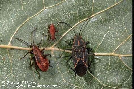 Boxelder bug adult and nymphs. [Photo by J.K. Clark]